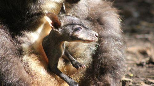 Taronga Zoo welcomes two endangered wallaby joeys