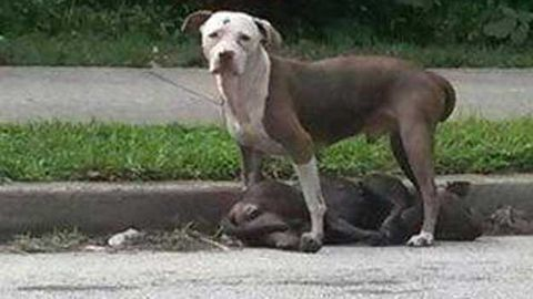 Herman the pit bull stands guard over fallen friend (Facebook)
