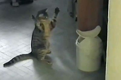 Boxer cat uses bin as punching bag