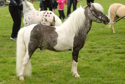 <p>Miniature horse</p>