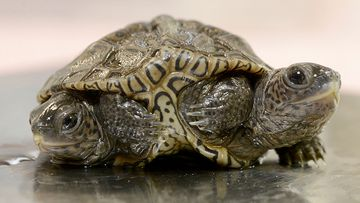The two turtles with one body operate independently of each other.