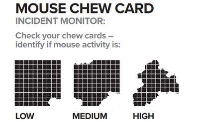 The mouse chew card is soaked in canola or linseed oil and left overnight. The next morning, farmers check how aggressively the card has been eaten and then report the results to CSIRO and the MouseAlert system.