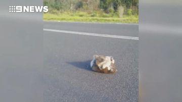 Brawling koalas narrowly dodge truck on Victorian road