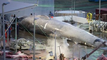 An Icelandic whaling company has been accused of deliberately killing an endangered blue whale – possibly the first in 40 years. Image: Facebook/Hard to Port