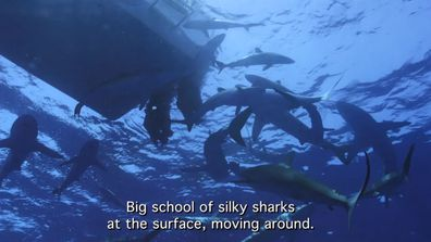 A big school of silky sharks blocked the path back to the boat.