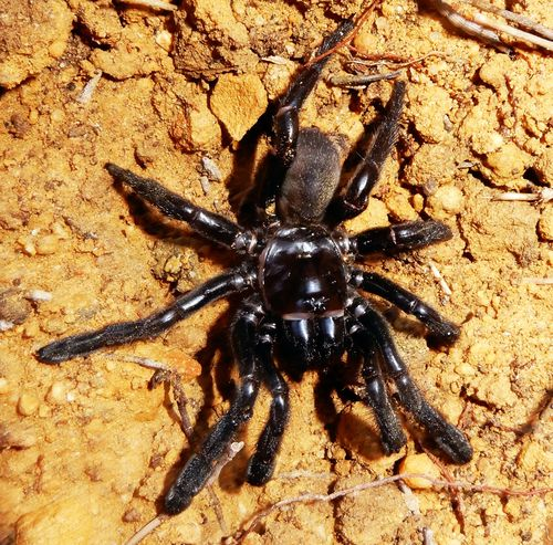 The oldest known living spider has died aged 43.