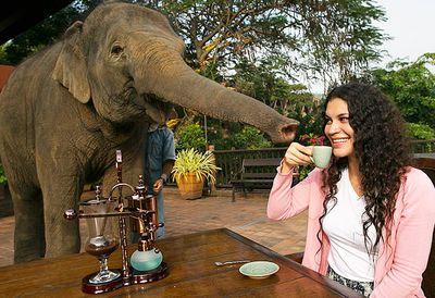 Elephant dung coffee