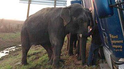 "<p>Two circus elephants have stopped an 18-wheel semi-trailer from overturning on the side of a highway in the US. </p><p> The pair, two of three Asian elephants being transported from Florida to Texas on Tuesday morning, proved handy after the driver pulled over on a soft shoulder, <a href="" http://www.wdsu.com/news/local-news/new-orleans/elephants-traveling-from-new-orleans-stop-18wheeler-from-overturning-sheriff-says/31988316?utm_source=Social&utm_medium=TWITTER&utm_campaign=wdsu&Content%20Type=Story&linkId=13100223 ""> WDSU </a> reports.</p><p> Click through to see how they did it.</p>"