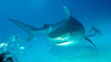 A tiger shark swims in the Bahamas