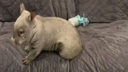 A wombat's 'zoomies' have gone viral.