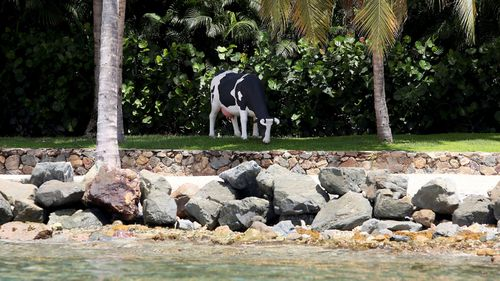 A life-size Holstein-Friesian cow statue that locals say was moved to a different spot weekly and sometimes even daily while Epstein lived there.