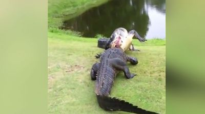 Brace yourselves, the gators are coming...