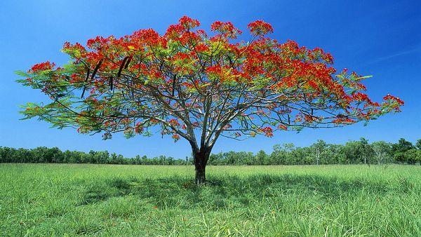 Acacia tree at Litchfield National Park (AFP)