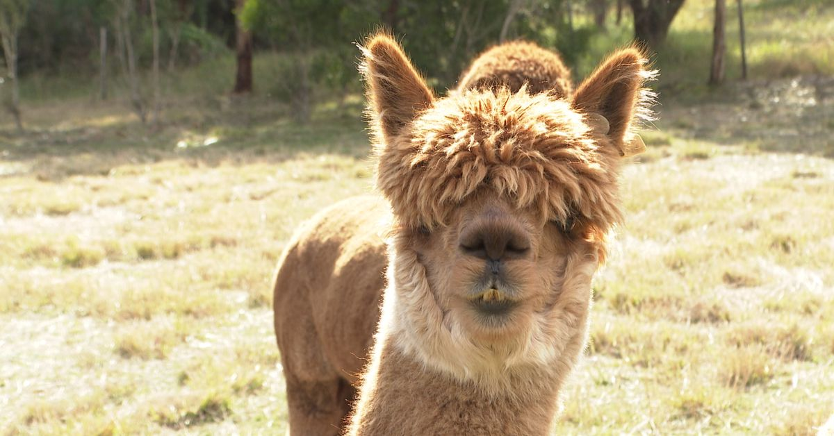 Coronavirus: Melbourne researchers using alpacas to find alternative COVID-19 treatment – 9News