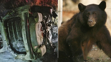 A bear fell on a Californian police car, causing a fiery wreck and a small bushfire