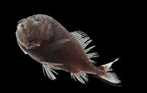 Scientists solve 'disappearing act' of pitch-black deep-sea fish