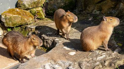 Taronga Zoo has welcomed five capybaras.
