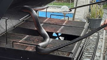 Red-bellied black snakes are among the most common serpents on the east coast.
