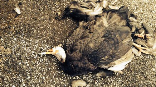 The photo of the dead bird that Conti allegedly ran over before placing a cigarette in its mouth. (Supplied)