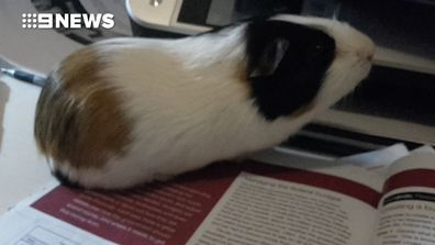 Guinea pig snatched from family's front yard
