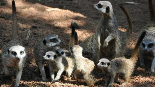 Four meerkat pups rejoin their clan after having their first vet check at Perth Zoo. (AAP)