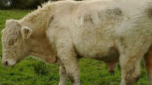 'Gay' Irish bull saved from slaughter by Simpsons producer