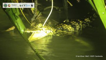 Conservationists found baby Siamese crocodiles earlier this month in a river in the Srepok Wildlife Sanctuary in Cambodia.