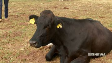 picton farmer's desperate plea to save his dairy herd from drought