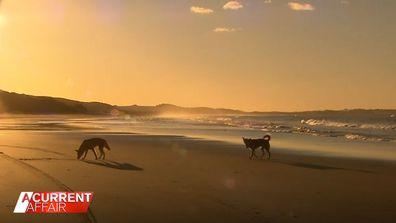 Rare dingo encounter captured on camera for the first time