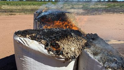 Farmers are having to burn the spoiled grain amid the threat of disease.