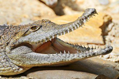 <strong>Brisbane River crocs</strong>