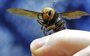 Angry French beekeeper delivers more than 1000 'murder hornets' to local government building