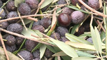 hot conditions forces early olive harvest