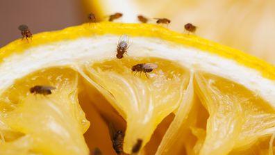 Fruit flies on squeezed lemon slice