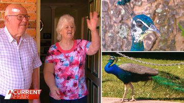 Residents say a 'gang' of peacocks is ruffling feathers in suburbia