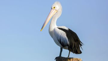 The woman had grabbed a pelican and placed the large bird in the boot of her car.