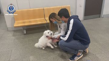 A Japanese Spitz dog has been reunited with its owners, after it was allegedly stolen from a home in Sydney's south-west.