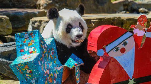Female panda Fu Ni receives festive treats at Adelaide Zoo. (AAP)