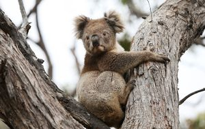 'It's been a dreadful year': Rescuers sound alarm on number of koalas killed by cars
