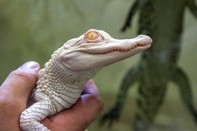 <p>Albino alligator</p>
