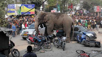 More than 100 homes and shops have been damaged during an elephant's seven-hour long rampage through a city in India's north.   The wild elephant first smashed into huts in a nearby village before heading into the city of Siligul, charging through fences, damaging homes and knocking into cars and motorbikes.  It took several tranquiliser darts to sedate the elephant, which had injured itself in the rampage.  Authorities believe the female was without a herd and was probably looking for food.  It was taken to a park to stay with domesticated elephants but officials hope to return it back to the wild.