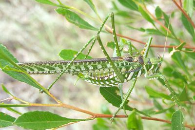 <p>Spotted predatory katydid(Chlorobalius leucoviridis)</p>