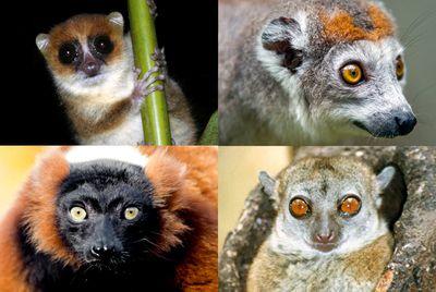 More lemurs (so many lemurs)