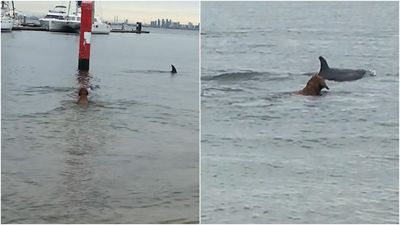 Flipping out: Dog paddles with dolphins close to shore