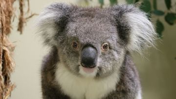 Scientists warn koalas are among hundreds of Australian wildlife on the brink of extinction.