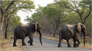 Zimbabwe has too many wild elephants and plans to sell some, its president has said.