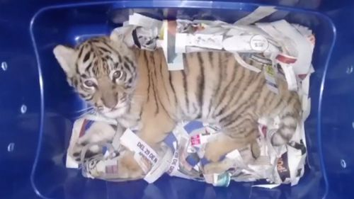 The sedated cub had been placed in a plastic container. (AP)