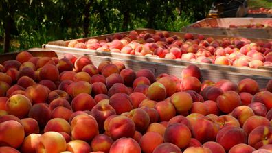 Australian summer peach harvest in Victoria