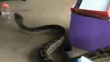 This python slithered its way into a north Queensland home.