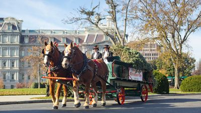 """The 18.5 foot US National Christmas tree has arrived at the White House on a horse drawn carriage, heralding the start of the holiday season.<br /><br /><strong>Click through the gallery to see more photos of First Lady Michelle Obama and the """"first dogs"""" receiving the giant Fraser fir.</strong>"""